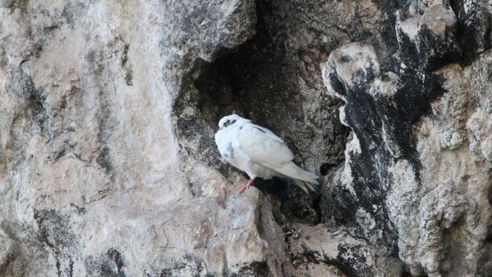 Doves in Xlendi Bay