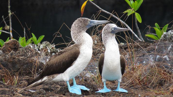 Blaufußtölpel, Los Tuneles, Galapagos