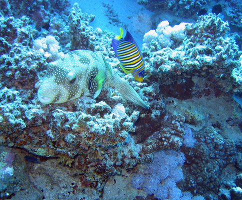 white-spotted puffer/royal anglefish