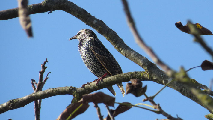 Star, eropean starling