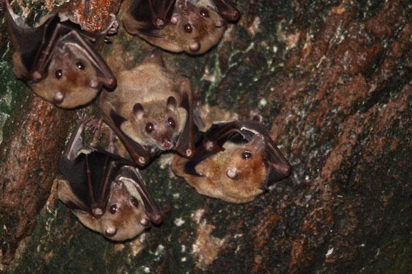 sulawesi harpy fruit bat