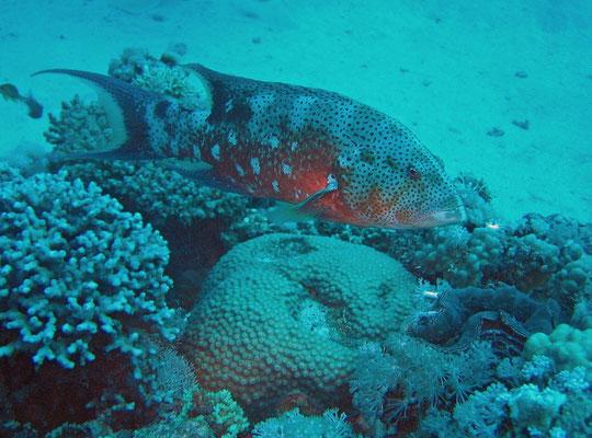 moon grouper