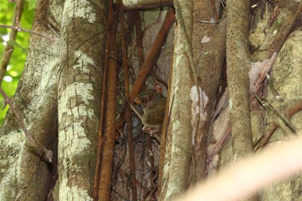 Tarsier, Koboldmaki, tarsius tarsius