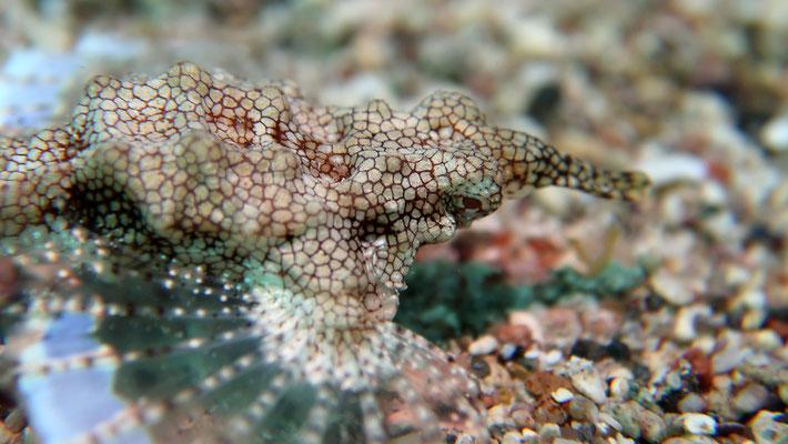 Flügelroßfisch, moth fish, female