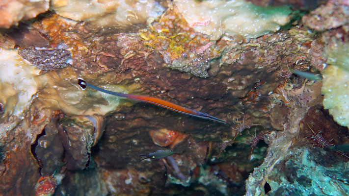 Cleaner Pipefish