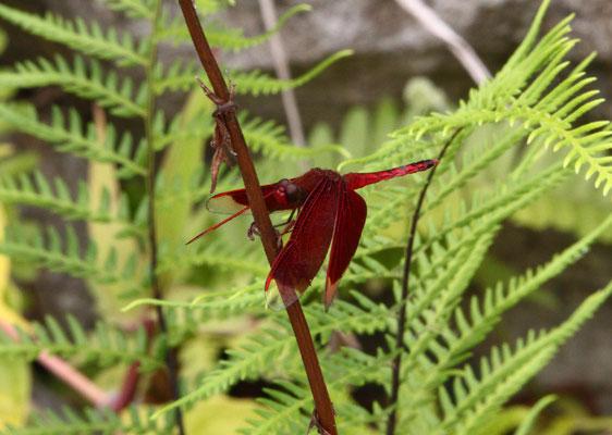 red firefly