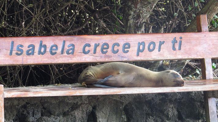 Ohrenrobbe, Isla Isabela