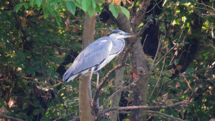 Graureiher, grey heron