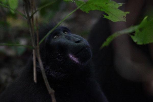 Schopfmakake, celebes crested macaque