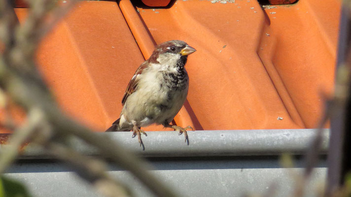 Haussperling, house sparrow