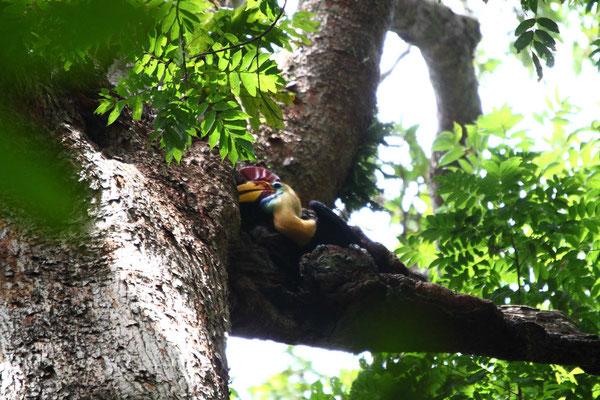 Helmhornvogel, hornbill