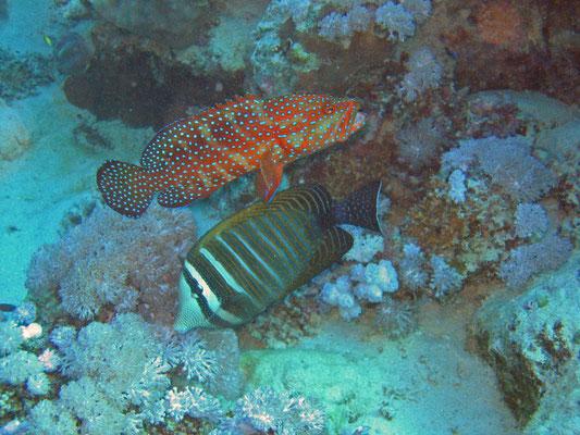 coral grouper / red sea sailfin tang