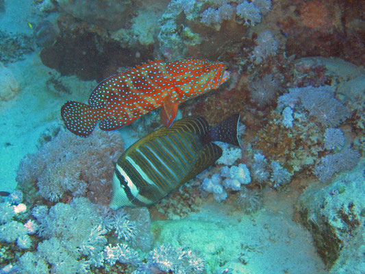 coral grouper / red sea sailfin tang