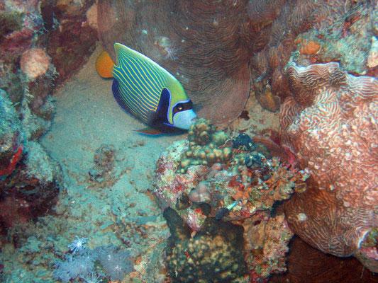 imperator anglefish