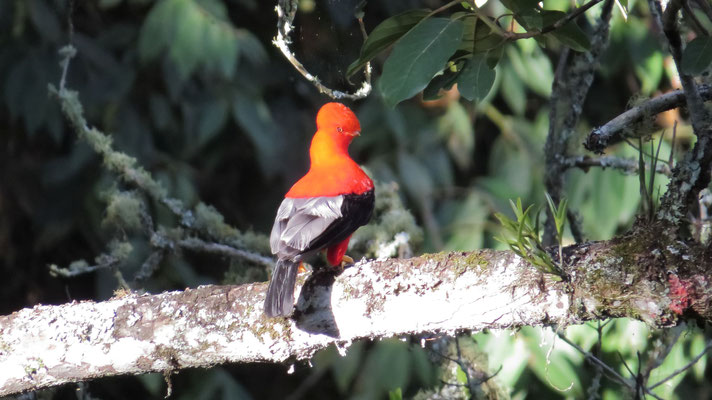 Andenklippenvogel (Jardin)