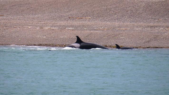 Orcas, Valdes Halbinsel