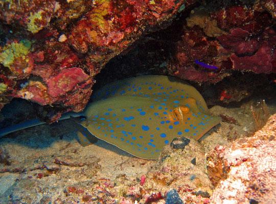 Blaupunkt Stechrochen, blue-spotted stingray