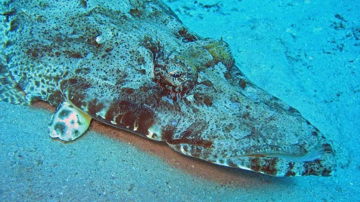 Teppich-Krokodilfisch, crocodilefish