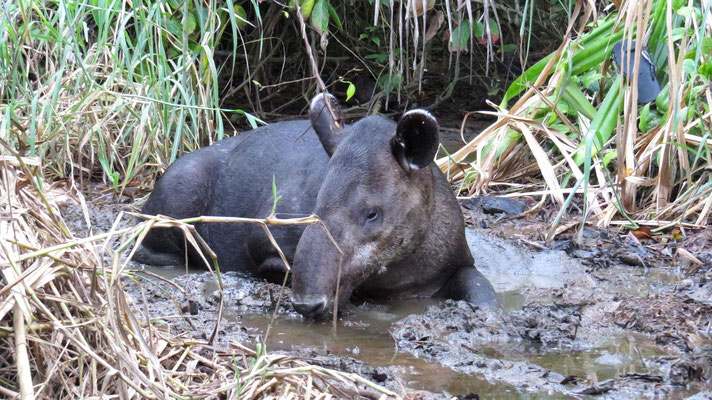 Bairds Tapir (Corcovado NP)