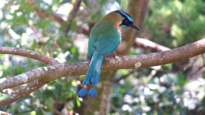 Blauscheitelmotmot (Monteverde NP)