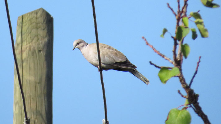 Türkentaube, eurasian collared dove