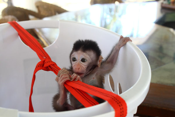 Kiki, philippine long-tailed macaque baby