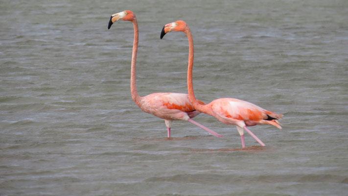 Amerikanischer Flamingo (Kubaflamingo, Laguna Oviedo)