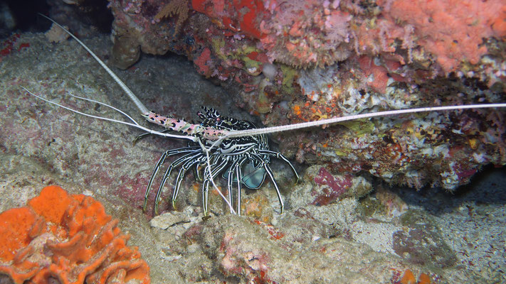 Ornate Spiny Lobster
