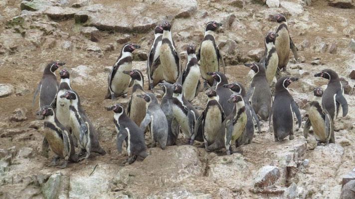Humboldt Pinguine, Islas Bellestas