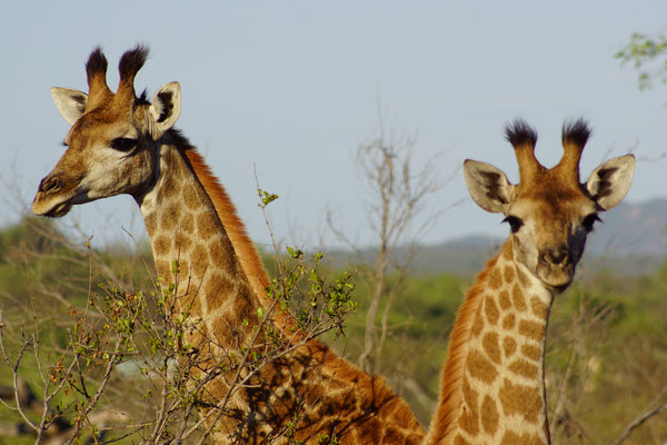 Giraffes South Africa