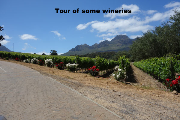 Vineyards Stellenbosch South Africa