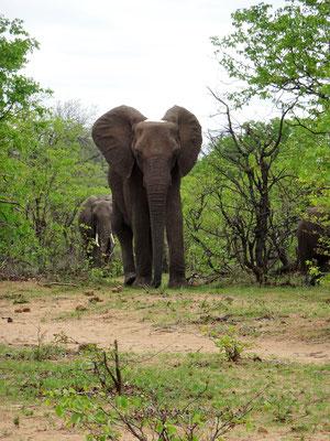 Elefants at Krüger Natonal Park