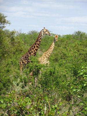 Giraffes Phalaborwa Gate