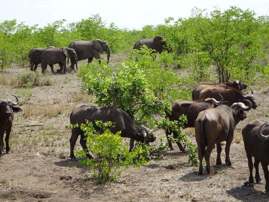 buffalos at Palaborwa Gate