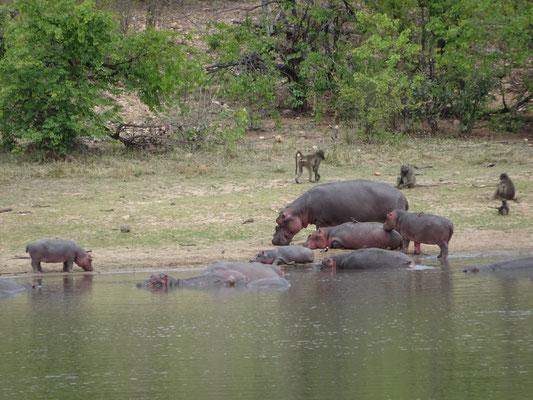 Hippos at Phalaborwa Gate