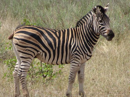 Zebra Krüger National Park South Africa
