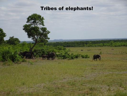 Elephant tribes Krüger National Park South Afirca
