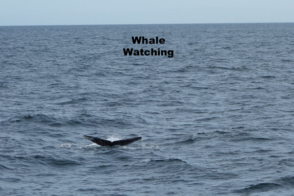 Whale Whatching Bar Harbor
