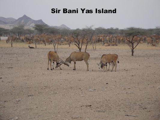 Sir Bani Yas Island Abu Dhabi