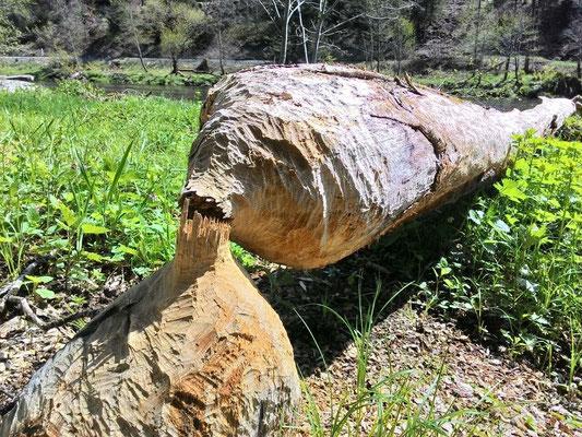 Baum wurde von Biber angenagt und gefällt