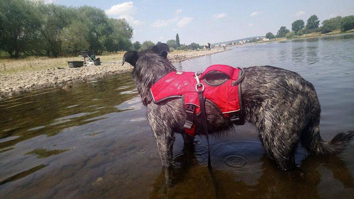 Hund mit Griff im Wasser