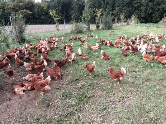 Die Hühner genießen die Spätsommer-Sonne