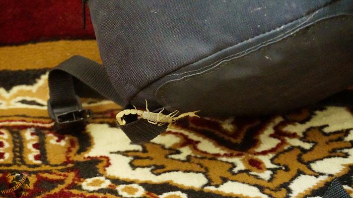 Ungebetener Gast bei Abreise: ein Skorpion! Aaaaaaahhh!
