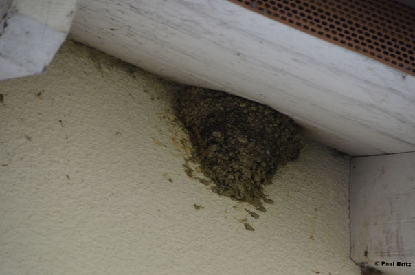 Mehlschwalben unterm Dach