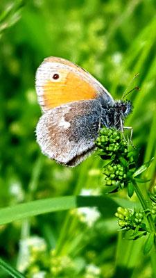 Kleines Wiesenvögelein (Coenonympha pamphilus) Foto: P. Britz