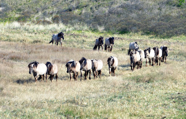 freilebende Konikherde (Equus caballus)