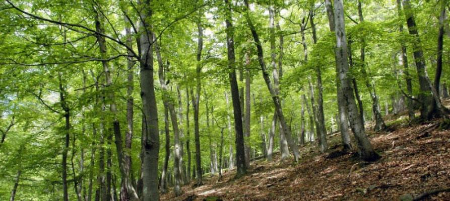 Buchenwälder - Quelle:  Nationalpark Kellerwald-Edersee