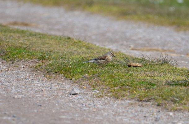 Wiesenpieper (Anthus pratensis)