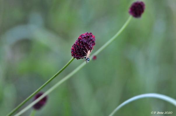 Großer Wiesenknopf (Sanguisorba officinalis) P. Britz