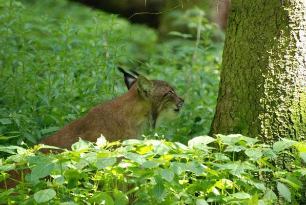 Der Luchs - Quelle: Nationalpark Kellerwald-Edersee